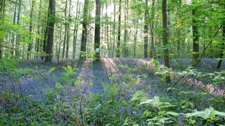 Belgio, la magia della foresta blu di Hallerbos