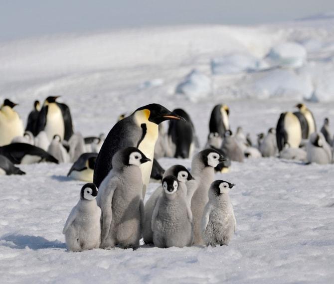 Da http://laogephoto.deviantart.com/art/Emperor-penguin-363050043