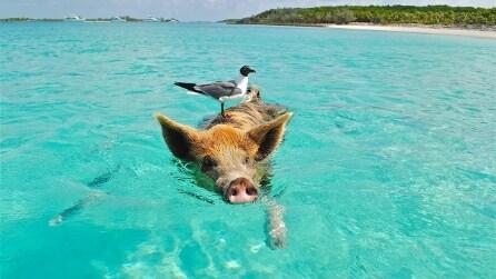I maiali che hanno conquistato l'isola delle Bahamas