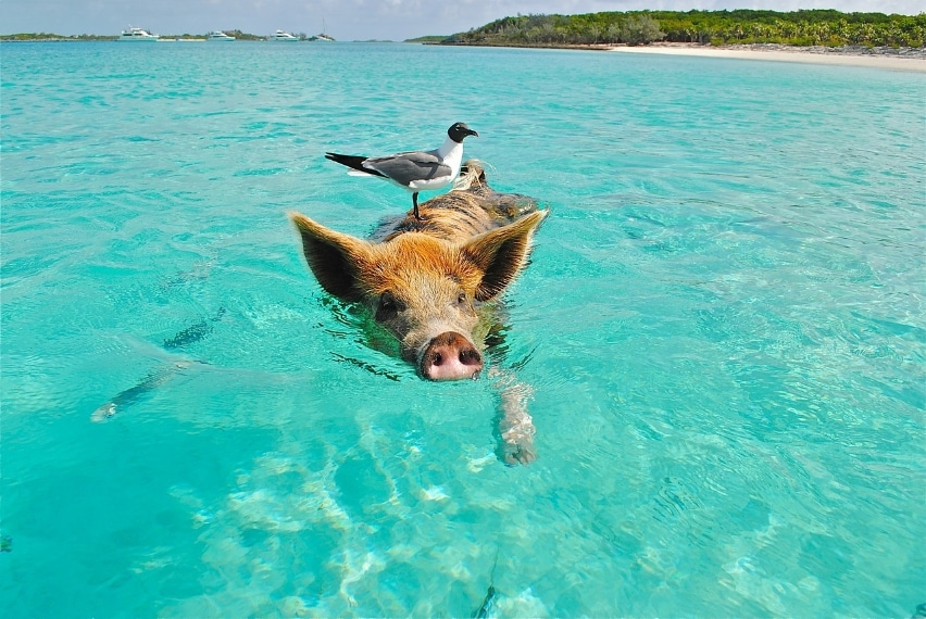http://pixabay.com/en/staniel-cay-swimming-pig-seagull-171908/