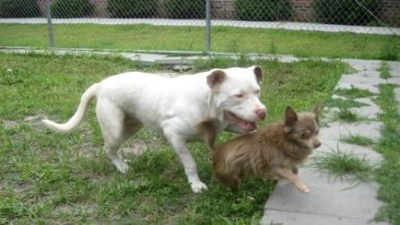 Il vero significato di amicizia: il pitbull protegge il suo piccolo amico