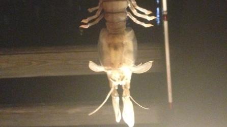 Florida, pescano un crostaceo gigante