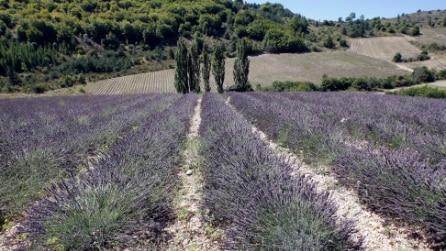I profumati campi di lavanda in Francia