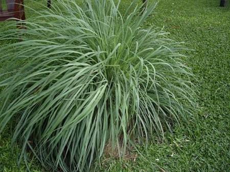 L'essenza di questa pianta viene usata per spray e candele che tengono lontane zanzare e pappataci. Ma potreste beneficiare dei suoi effetti anche piantandola nel vostro giardino di casa.