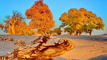 Foglie dorate in autunno, ecco la splendida foresta dell'albero di euphratica in Cina