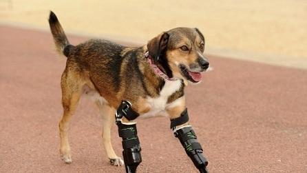 Cane perde le zampe, ma torna a correre grazie a delle protesi