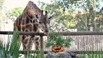 Halloween, zucche al Bioparco: la festa è con le giraffe
