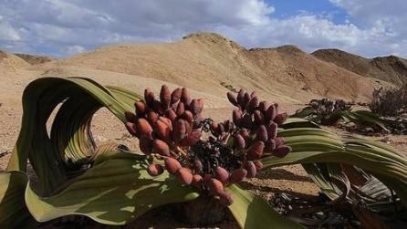 Le piante più rare (e in pericolo) del mondo