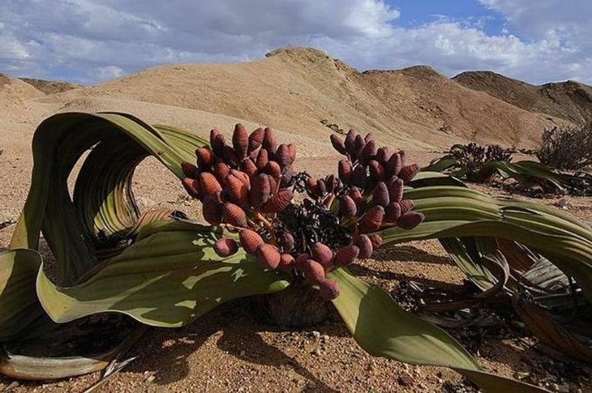 Una delle piante più rare del mondo, si trova in Namibia.