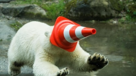 Nela, l'orso polare dello zoo di Monaco si diverte con un birillo