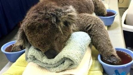Il koala dalle zampe ustionate, salvato dall'incendio, commuove tutti