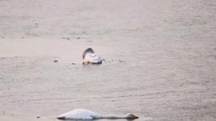 Il cigno si suicida dopo la morte della madre