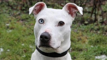 Buddy, il cane con un occhio blu e uno verde che nessuno vuole