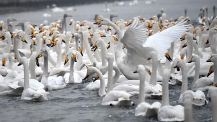 Cina, i cigni migrano dal nord per sfuggire al freddo