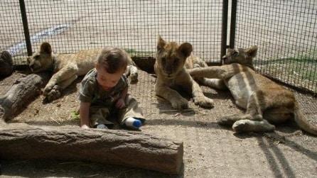 Lo zoo dove puoi farti una foto con leoni e tigri. Ma gli animali vengono drogati