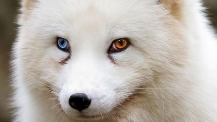 Occhi di due colori diversi, stupendi scatti di cani e gatti