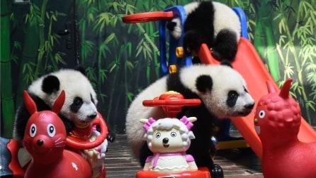Safari Park di Guangzhou, tre gemelli di panda gigante si divertono così