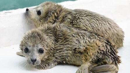 Cina, foca dà alla luce due gemelli