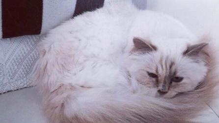 Choupette, il gatto più ricco al mondo è di Karl Lagerfeld