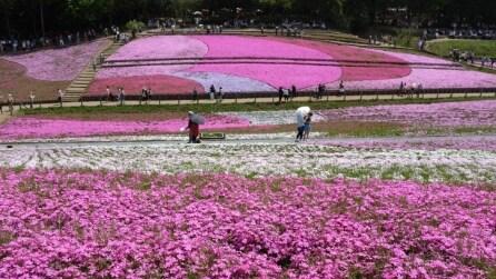 Il Festival del Muschio Rosa del Giappone