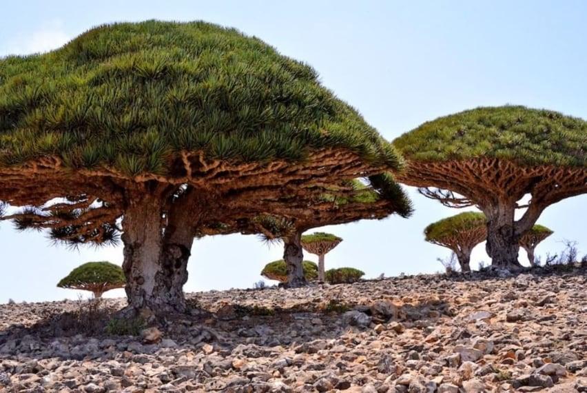 Al contrario della maggior parte degli alberi, l'età di questi alberi è stimata dalla suddivisione dei rami e non dai cerchi nel tronco.