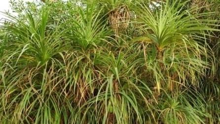 Pandanus Candelabrum, la rara pianta che cresce sui diamanti