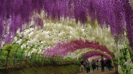 Tunnel di glicini ed albero della vita nell'Ashikaga Flower Park
