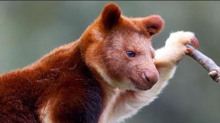 È un mix tra koala, canguro, bradipo, scimmia e orso: il fantasma della foresta