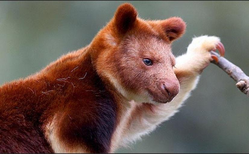 Il suo habitat è quello delle foreste pluviali della Nuova Guinea e di alcune isole vicine, solitamente in aree montuose.
