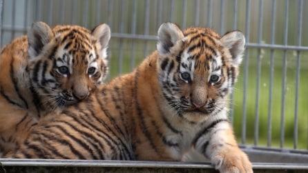 Si mostrano per la prima volta in pubblico, la tenerezza dei cuccioli di tigre siberiana