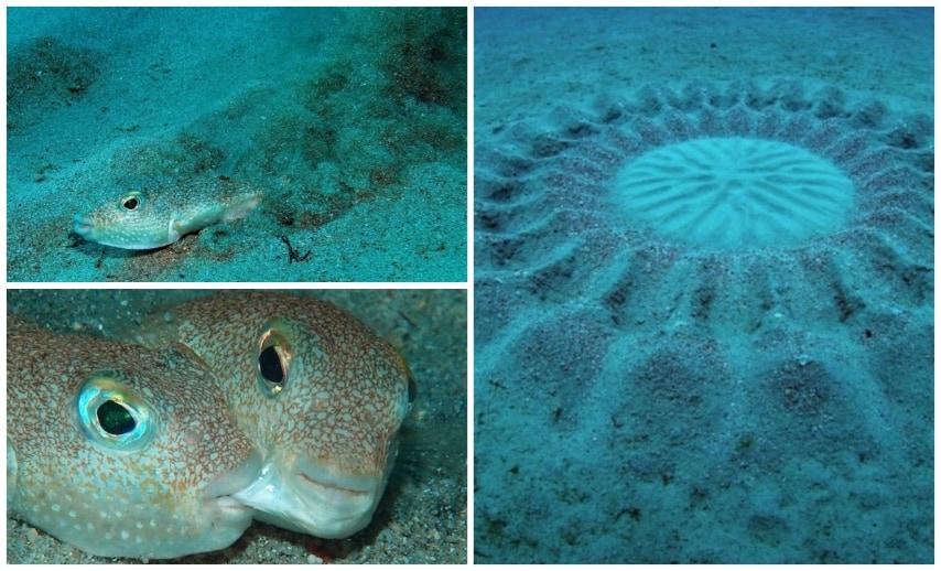 """A largo dell'isola giapponese di Amami-Ōshima sono stati trovati e poi classificati i """"Torquigener albomaculosus"""". Questi pesci, durante la stagione degli accoppiamenti, fanno questi cerchi nella sabbia per deporre le uova."""
