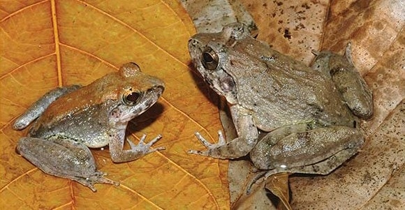 """La """"Limnonectes larvaepartus"""" è differente dalle rane più comunemente conosciute che depongono uova già fertilizzate. Questo anfibio partorisce direttamente dei girini."""