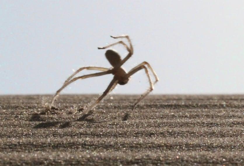 """Classificato come """"Cebrennus rechenbergi"""" è un piccolo ragno che abita la zona del Marocco sudorientale e ha una curiosa caratteristica. Quando attacca il suo nemico compiendo capriole e salti mortali."""