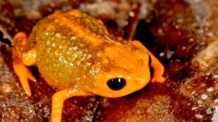 Scoperte 7 specie microscopiche di rane: il loro veleno è più potente del cianuro
