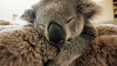 Il piccolo koala aggrappato alla mamma durante l'intervento chirurgico