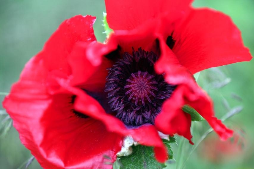 l papavero è un fiore luminoso ed è il fiore più amato dalle persone con una personalità vibrante, eccentrica e positiva.