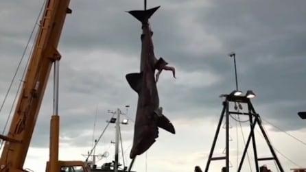 Un vero mostro degli abissi: l'enorme squalo di 6,5 metri