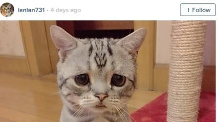Luhu è il gatto più triste del mondo, ma ha 15mila fan su Instagram