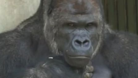 Shabani, il sexy gorilla che fa impazzire le visitatrici dello zoo