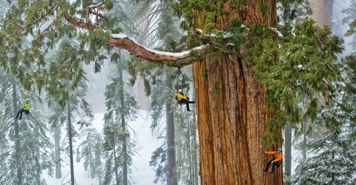 Quelli che vedete sospesi ad uno dei grossi rami della sequoia sono degli scienziati avventuratisi fin lassù per testare la vitalità dell'antichissima sequoia.