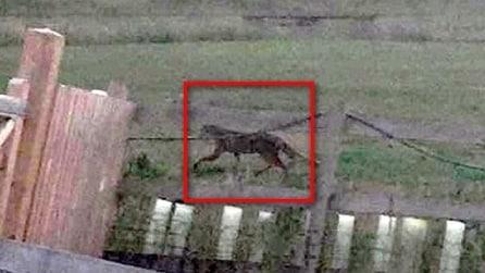 """Pensava fosse una volpe: il mistero del """"grande gatto"""""""