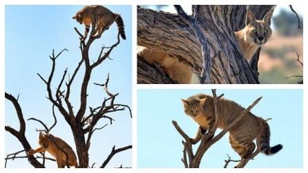 La lince insegue un gatto selvatico: arrivati in cima succede l'inverosimile