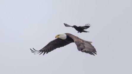 Il corvo si avvicina all'aquila in volo: guardate cosa succede un attimo dopo