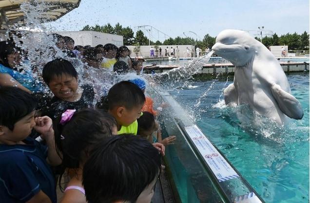 Il beluga è indicato come «prossimo alla minaccia» dall'Unione Internazionale per la Conservazione della Natura (IUCN).