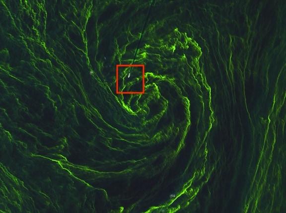 """La nave in balia dell' """"uragano"""" di alghe"""