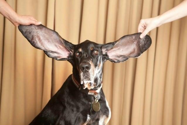 e orecchie più lunghe di un cane misurano 31,1 centimetri a destra e 34,3 centimetri a sinistra, appartengono a Harbor, un Black and Tan Coonhound di sette anni.