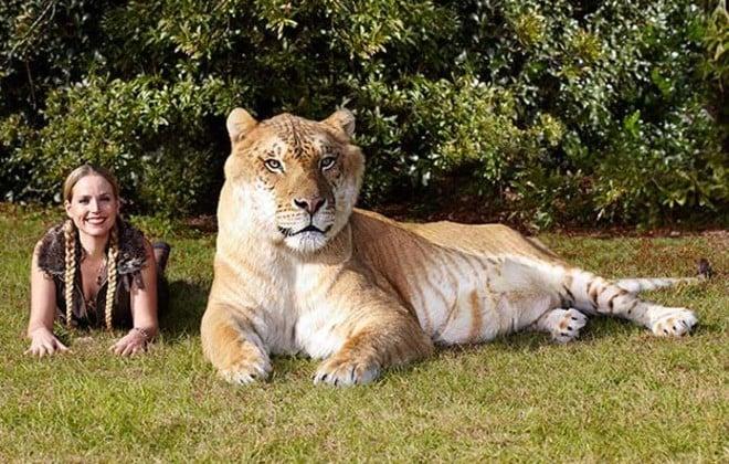 Ercole invece è il più grande felino al mondo vivente, nato dall'accoppiamento di un leone e una tigre, misura 3,33 metri di lunghezza e si elevaad un'altezza di 1,25 metri fino alla spalla; questa specie si chiama ligers e si trova attualmente al Myrtle Beach Safari, una riserva naturale in Carolina del Sud, Stati Uniti d'America.