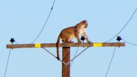 Il puma spaventato si arrampica sul palo dell'alta tensione