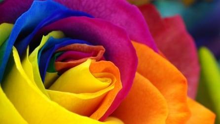 Ecco come creare una meravigliosa rosa arcobaleno