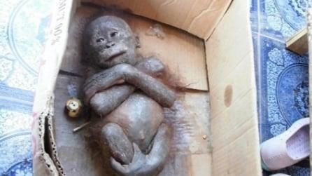 Abbandonato in un cartone è in fin di vita: il baby orangotango salvato dai volontari